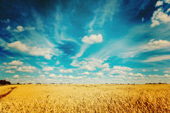 Ripe wheat field and blue sky instagram colors Royalty Free Stock Photography