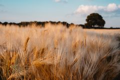 Ripe wheat field. Blue sky with some white clouds and one big oak tree in background.  Stock Images