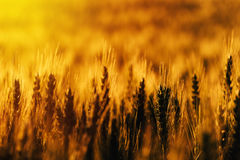Ripe wheat field. Cereal crop plant ears, selective focus Royalty Free Stock Image