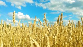 Ripe wheat field. On a cloudy summer day royalty free stock photography