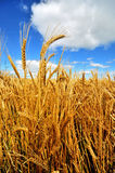 A ripe wheat field in County Wexford, Ireland Royalty Free Stock Photos