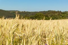 Ripe wheat on a field in the Czech Republic. Evening on farm. Growing of grain. Stock Photos