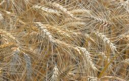 Ripe wheat field. Details of ripe wheat field Stock Image