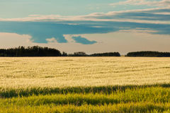Ripe wheat field distant forest in evening sun Royalty Free Stock Image