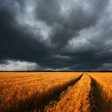 Ripe wheat field and dramatic clouds. Ripe wheat field and dark dramatic clouds, there is a long track of combine Stock Photo