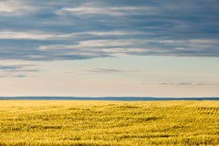 Ripe wheat field in evening sun under dramatic sky Royalty Free Stock Photography