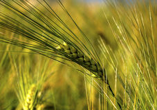 Ripe wheat on the field. Fresh ripe wheat on the field closeup Stock Photography