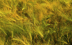 Ripe wheat on the field. Fresh ripe wheat on the field closeup Royalty Free Stock Photo