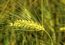 Ripe wheat on the field. Fresh ripe wheat on the field closeup Royalty Free Stock Photos