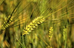 Ripe wheat on the field. Fresh ripe wheat on the field closeup Stock Photos