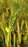 Ripe wheat on the field. Fresh ripe wheat on the field closeup Stock Images