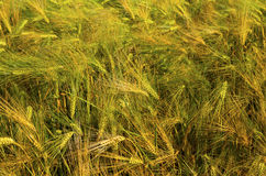 Ripe wheat on the field. Fresh ripe wheat on the field closeup Royalty Free Stock Image