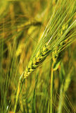 Ripe wheat on the field. Fresh ripe wheat on the field closeup Stock Image