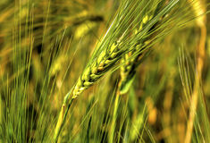 Ripe wheat on the field. Fresh ripe wheat on the field closeup Stock Photo