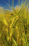 Ripe wheat on the field. Fresh ripe wheat on the field closeup Royalty Free Stock Images