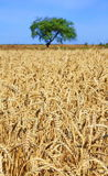 Ripe wheat field. And fruit tree in the background Stock Images