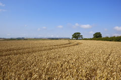 Ripe wheat field Stock Photography