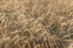 Ripe wheat field. Golden ripe wheat field in summer Royalty Free Stock Photography