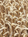 Ripe wheat on a field Royalty Free Stock Images