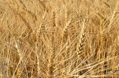 Ripe wheat field before harvest. agricultural activities Royalty Free Stock Image
