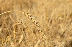 Ripe wheat field before harvest. agricultural activities Royalty Free Stock Photos