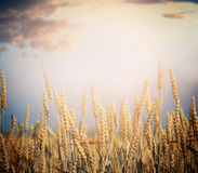Ripe wheat field on harvest season over sky background Royalty Free Stock Photos