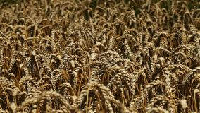 Ripe wheat field on hot summer day stock footage