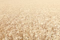 Ripe wheat field. In Italy Stock Image