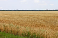 Ripe wheat in the field Royalty Free Stock Image