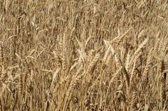 Ripe wheat field Stock Photo