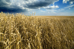 Ripe wheat field over blue sky. Stock Images