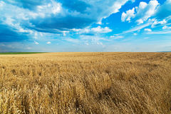 Ripe wheat field over blue sky. Agricultural landscape Stock Photos