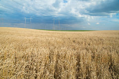 Ripe wheat field over blue sky Stock Photos