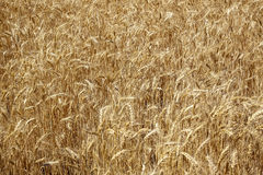 Ripe Wheat Field Palouse Washington State Royalty Free Stock Photo