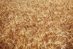 Ripe Wheat Field Palouse Washington State Royalty Free Stock Photography