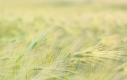 Ripe wheat field. Landscape in summer time Stock Images