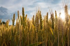 Ripe wheat in a field. On a sunny day Stock Photo