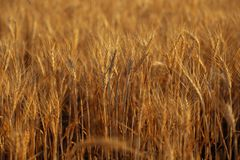 Ripe wheat field. In sunny day. Spikelets of rye are growing in a farm field. Closeup Stock Images