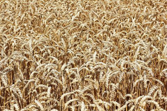 A ripe wheat field shortly before harvest Stock Images