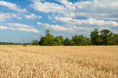 Ripe wheat field. In summer Royalty Free Stock Images