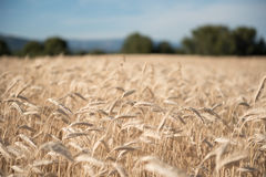 Ripe wheat field in the summer on a background of trees and blue. Sky, harvest Stock Images