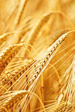 Ripe wheat on a field in summer. Closeup of ripe wheat on a field in summer Royalty Free Stock Images