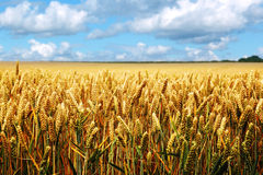 Ripe wheat field on a summer day royalty free stock image