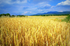 Ripe wheat field. Summer landscape with ripe wheat field against cloudy sky,near Serres town,Macedonia,Northern Greece Stock Photos