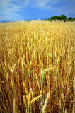Ripe wheat field. Summer landscape with ripe wheat field against darkened sky,near Serres town,Macedonia,Northern Greece Royalty Free Stock Photo