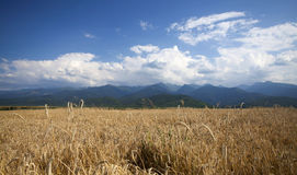 Ripe wheat field in summer Stock Photos