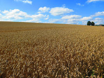 Ripe wheat field. In summer in Southern Denmark Royalty Free Stock Image