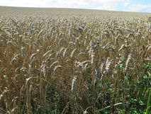 Ripe wheat field. In summer in Southern Denmark Royalty Free Stock Photography