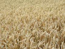 Ripe wheat field in sunny ambiance Royalty Free Stock Photo