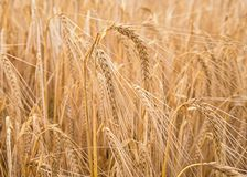 Ripe wheat in a field. On a sunny day Stock Image